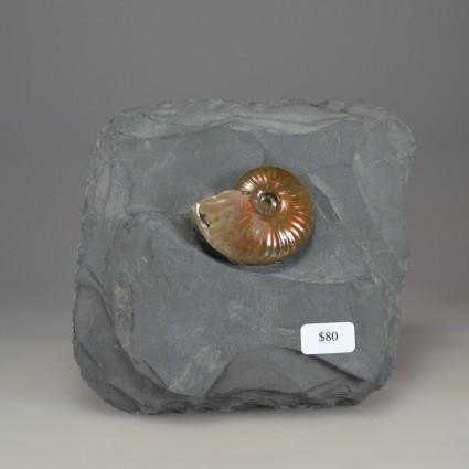 Ammoniteonshale